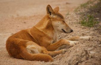 Cani del Deserto e volpi