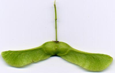 frutto dell'acero