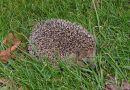 Riccio, piccolo mammifero – parte I