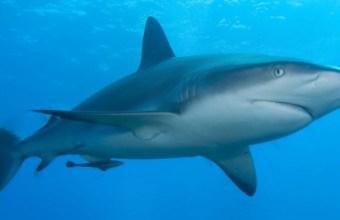 Lo squalo, grande predatore