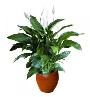 Spatifillo piante da appartamento