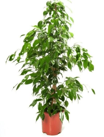 ficus piante da appartamento