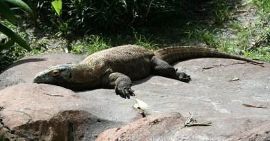 Il drago di Komodo, un rettile preistorico