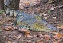 Il caimano, rettile delle Americhe