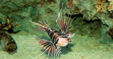 Il pesce scorpione