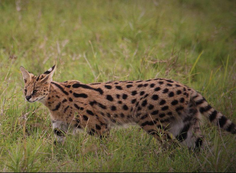 Il Servalo felino selvatico simile al gatto