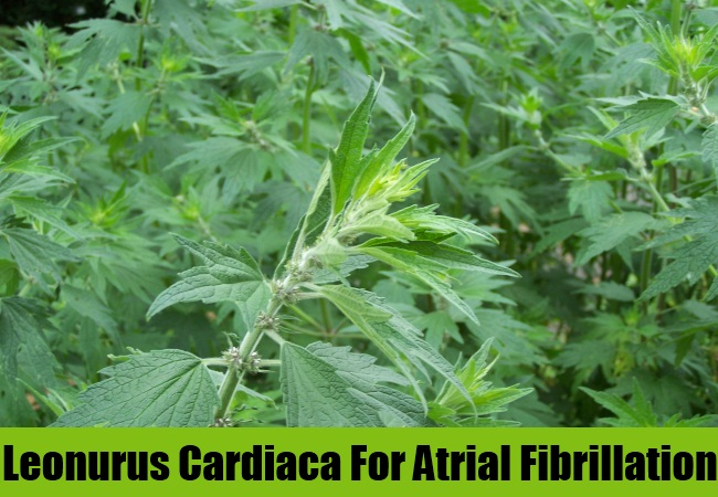 Leonurus Cardiaca For Atrial Fibrillation