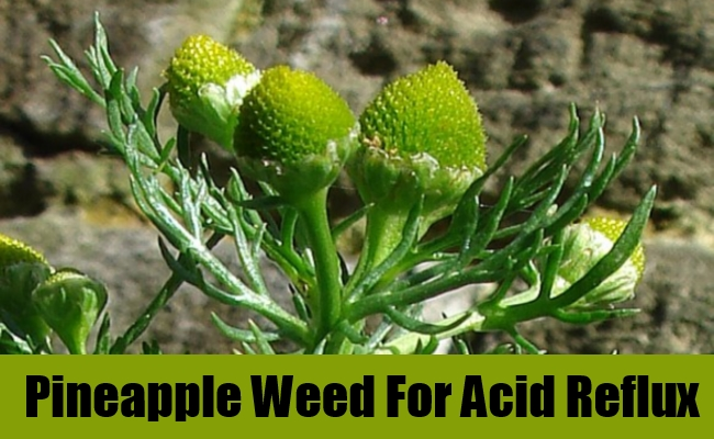 Pineapple Weed For Acid Reflux