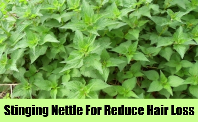 Stinging Nettle For Reduce Hair Loss
