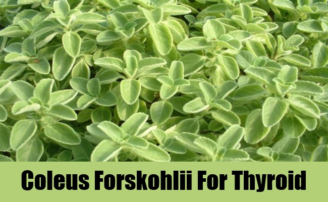 Coleus Forskohlii For Thyroid