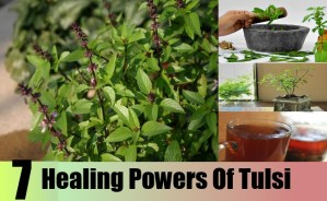 Healing Powers Of Tulsi