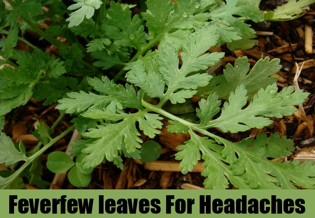 Feverfew leaves