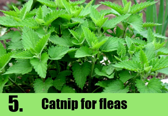 6 Ways To Get Rid Of Fleas Natural Home Remedies