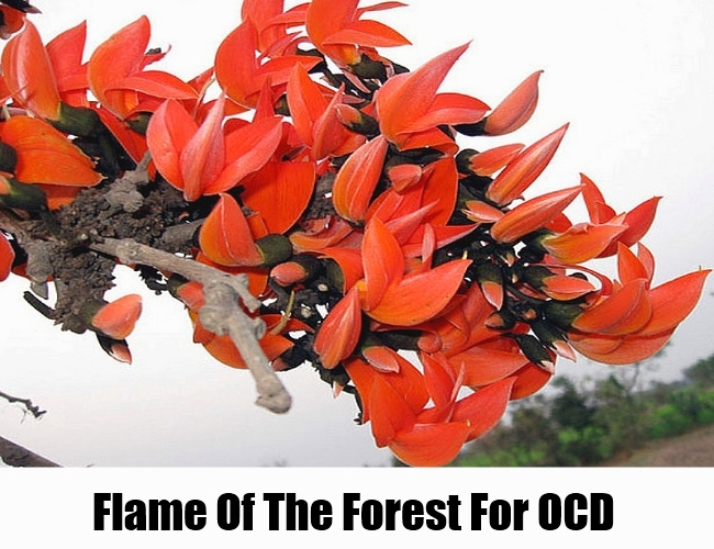 Flame-Of-The-Forest-To-Cure-OCD