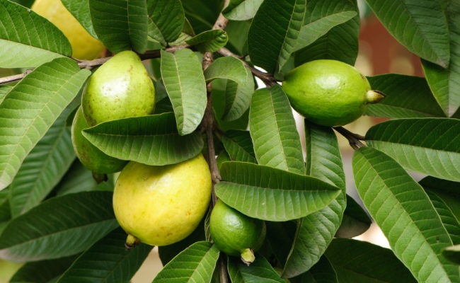 Guava And Guava Leaves