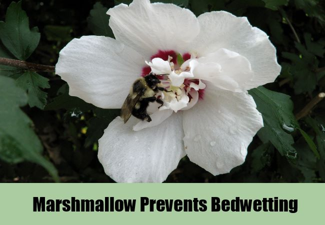 Marshmallow Prevents Bedwetting