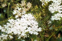Anice comune: identificazione, coltivazione, raccolta, semina, proprietà medicinali, utilizzi in cucina.