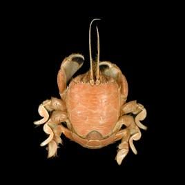 Albunea species