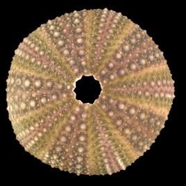 Sphaerechinus granularis Lamarck, 1816
