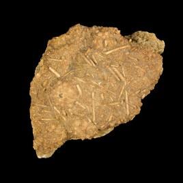 Acrosalenia hemicidaroides
