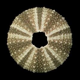 Psammechinus microtuberculatus de Blainville, 1825
