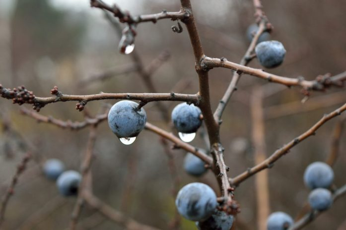 Sloe is used to condition the skin