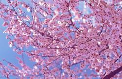 Hanami – A Celebration of Flowers