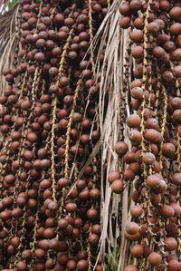 Buriti Fruit Oil