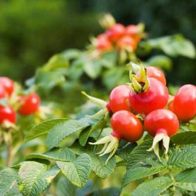 Five Reasons to Love Rose Hip Seed Oil