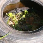Simple Mosquito Trap Made With Old Tires 7 Times More Effective Than Other Means