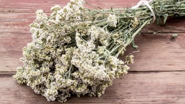 11 Amazing Health Benefits of Yarrow
