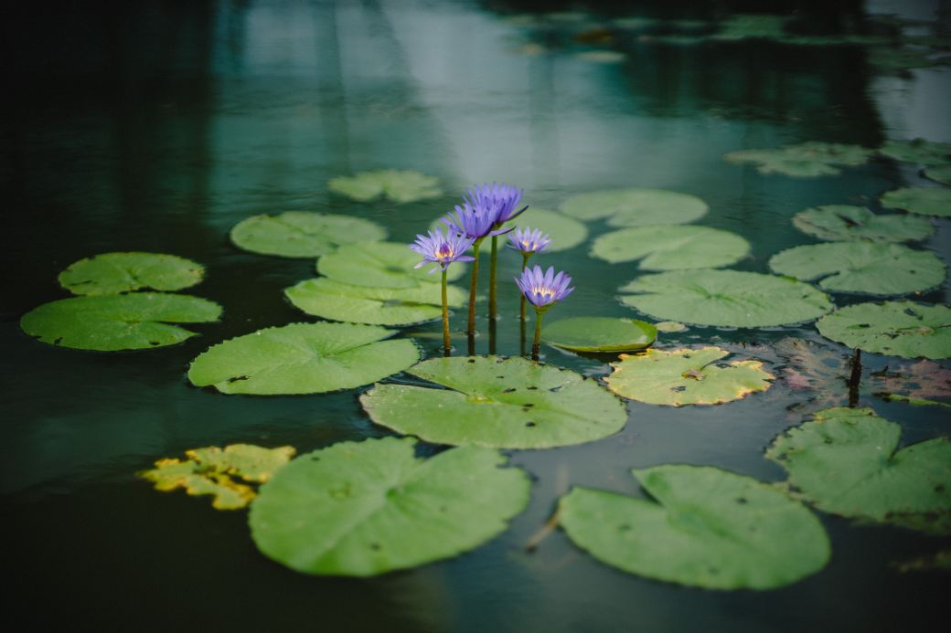 Flowering water lilly a symbol of spiritual birth