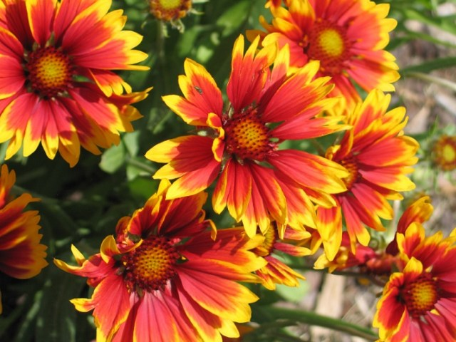21 Plants That Bloom All Summer Long Gaillardia Blossoms  Gaillardia is another summer flowering