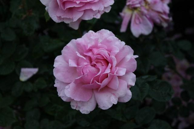 roseatrosetestgardenfathersday