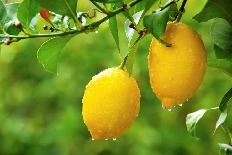 limoni su ramo