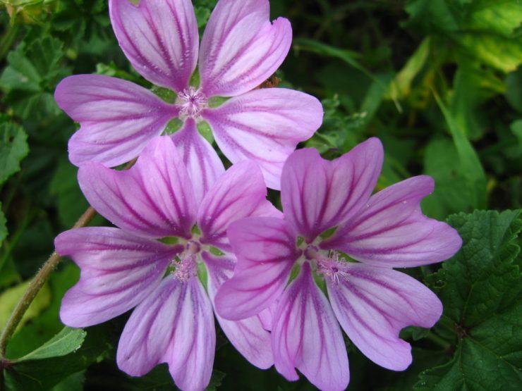 fiori viola di malva sylvestris da cui vengono estratte le mucillagini dalle proprietà altamente lenitive.