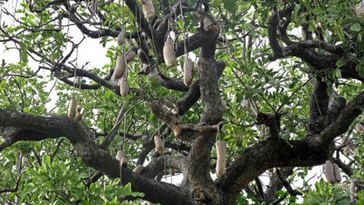 kigelia africana conosciuto anche come albero delle salsicce