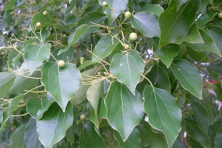 foglie dell'albero Cinnamomum Canfora