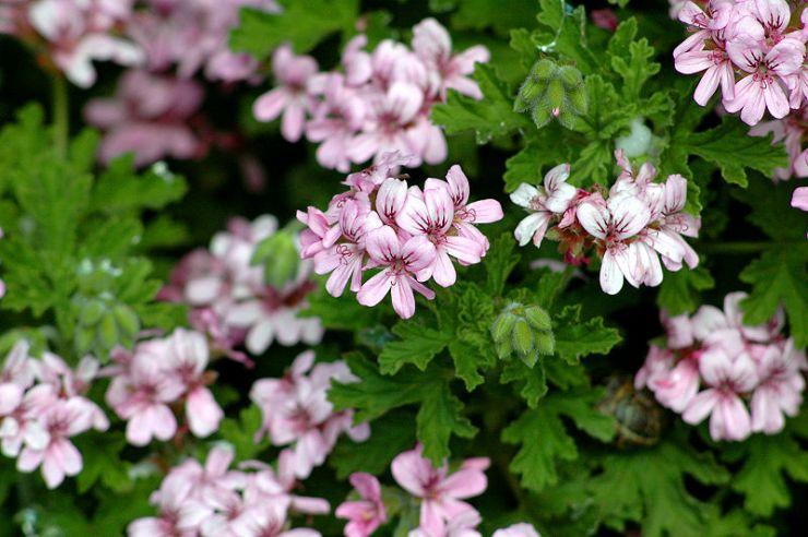 fiori rosa di geranio
