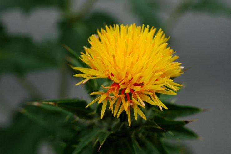 carthamus tinctorius, fiore giallo