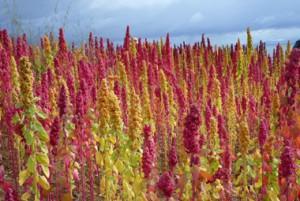 quinoa_041211_380pxB