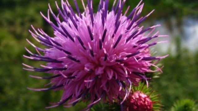 How to Reverse Hair Thinning with Burdock Root Oil.jpg