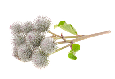 burdock-root-oil-extract