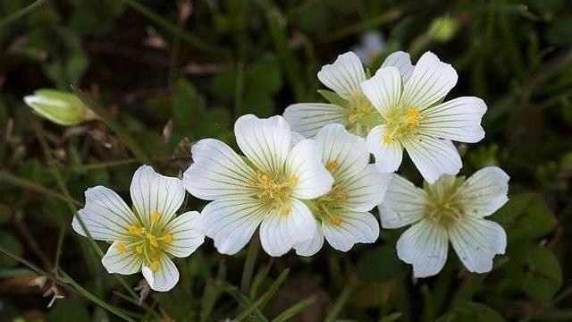 meadowfoam flower