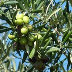 The Difference Between Virgin & Extra Virgin Olive Oil (EVOO)