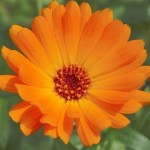 Eliminate Sore, Itchy and Inflamed Scalp Issues with Calendula Oil