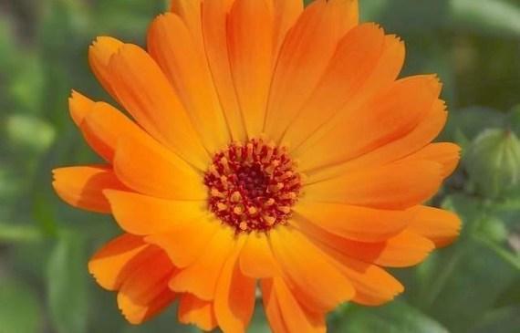 calendular flower