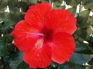 red-hibiscus-for-hair-gel