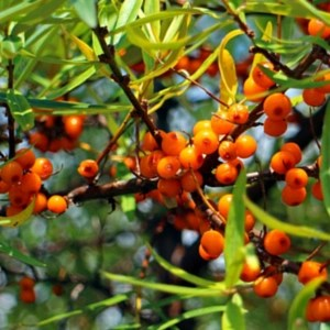 Sea-Buckthorn Oil for hair