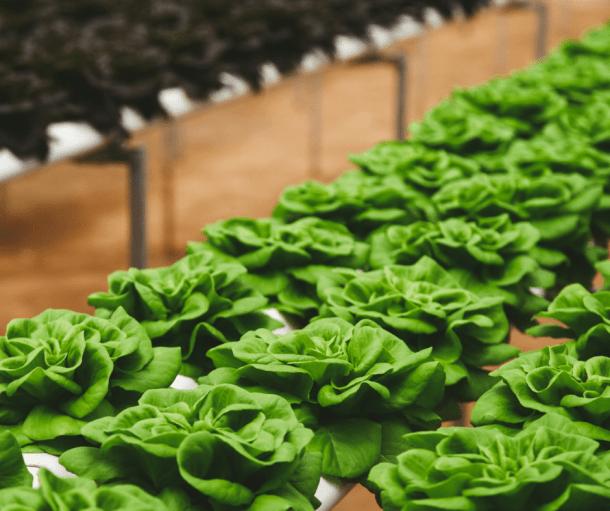 baby lettuce in raised garden bed, growing organic vegetable gardens